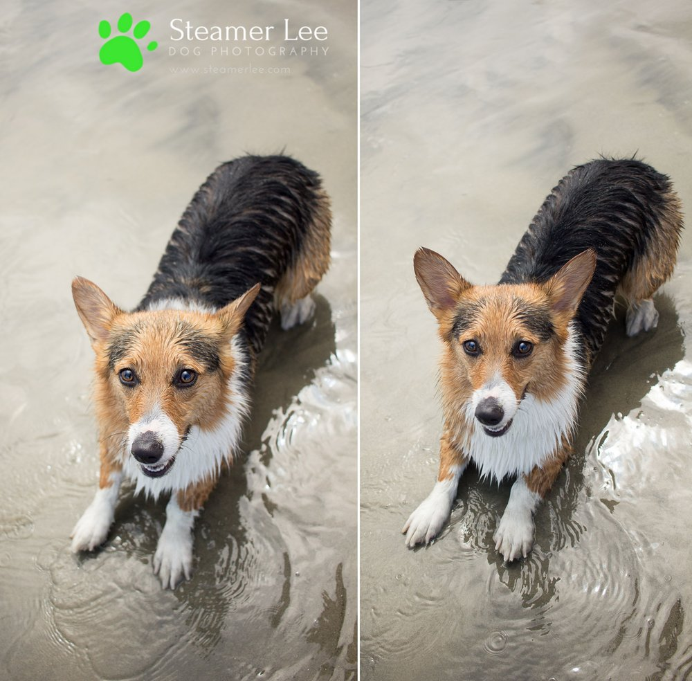 Steamer Lee Dog Photography - July 2017 So Cal Corgi Beach Day - Vol. 3 - 20.jpg