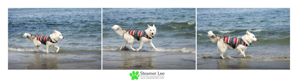 Steamer Lee Dog Photography - Corgi Beach Day July 2017 - Honorable Corgis 33.jpg