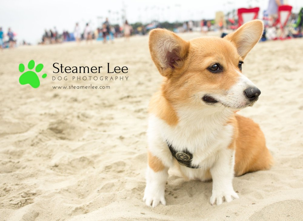 Corgi Beach Day - Vol. 1 2.jpg