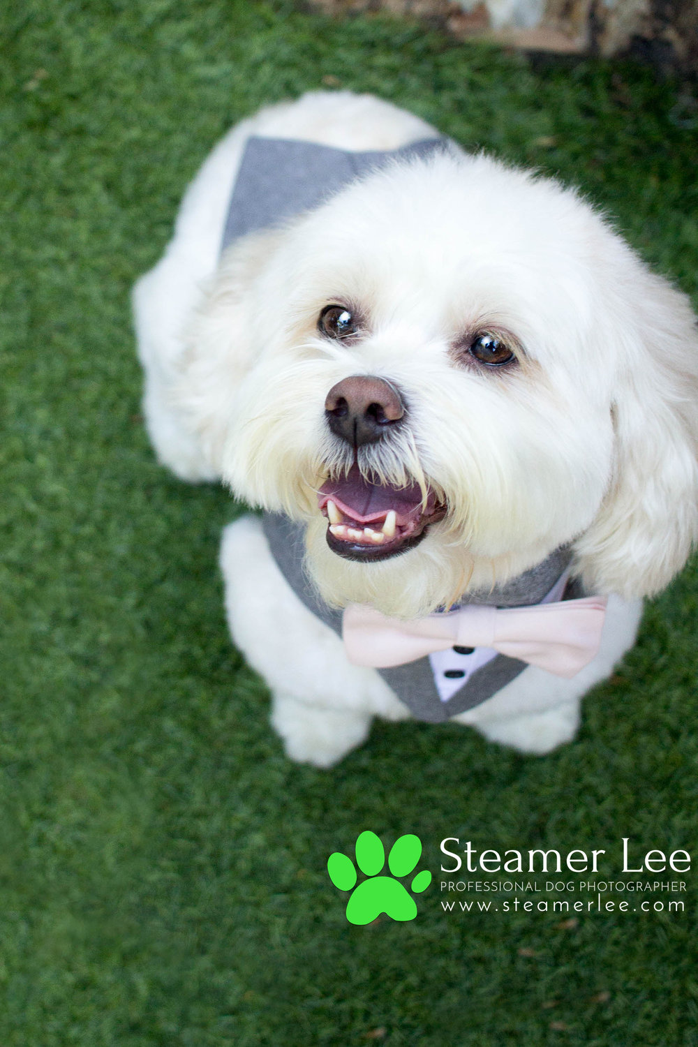 Steamer Lee - Dog Photography - Shihpoo - Charly - 6.jpg