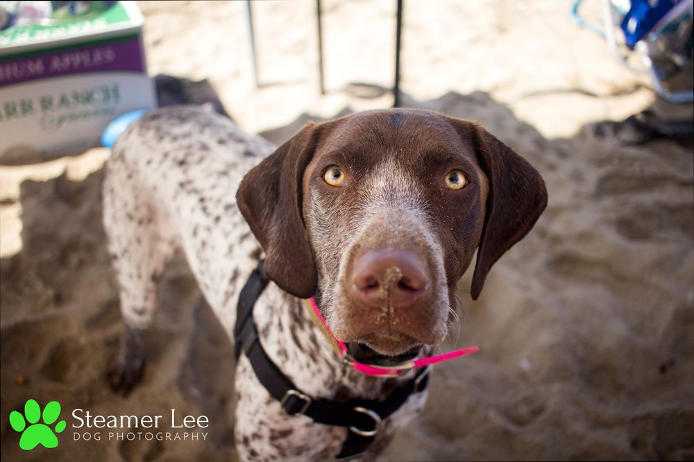 Steamer Lee Dog Photography - German Shorthaired Pointer Meetup - Huntington Beach Dog Beach - 00072.jpg