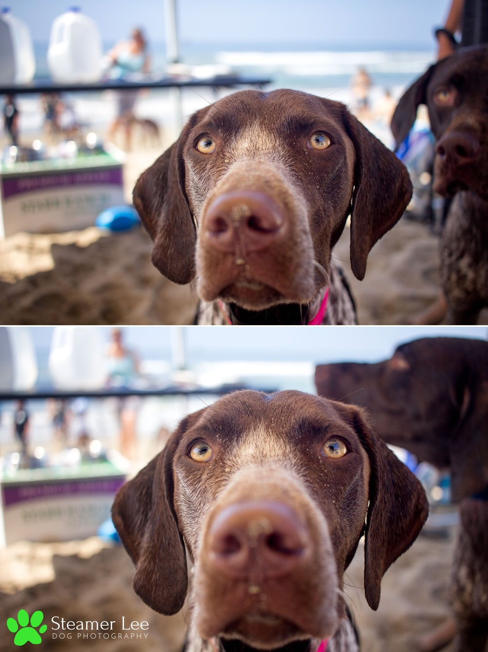 Steamer Lee Dog Photography - German Shorthaired Pointer Meetup - Huntington Beach Dog Beach - 00071.jpg