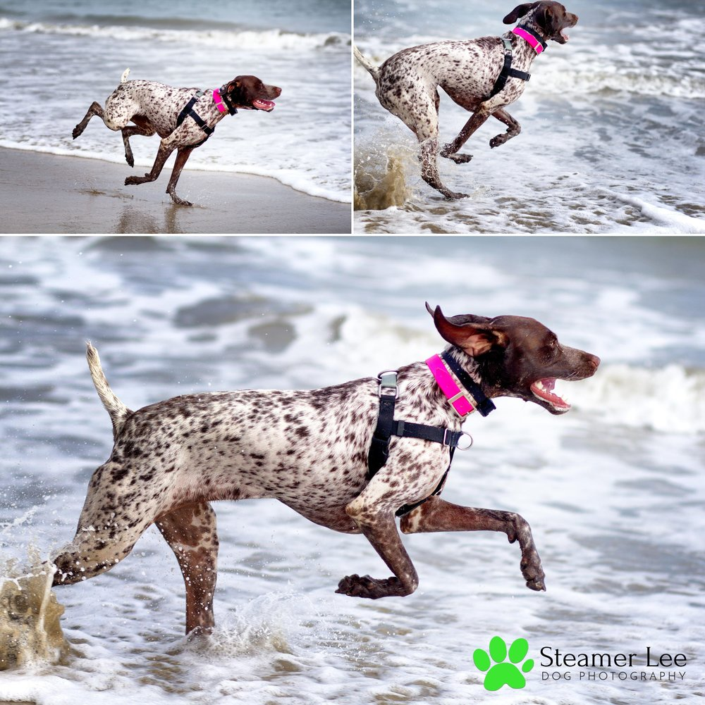 Steamer Lee Dog Photography - German Shorthaired Pointer Meetup - Huntington Beach Dog Beach - 00029.jpg