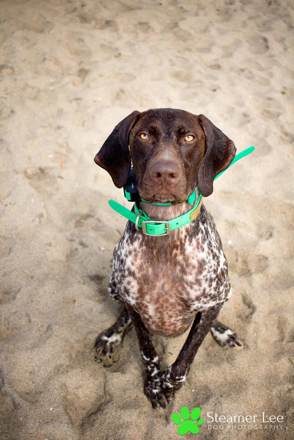 Steamer Lee Dog Photography - German Shorthaired Pointer Meetup - Huntington Beach Dog Beach - 00032.jpg