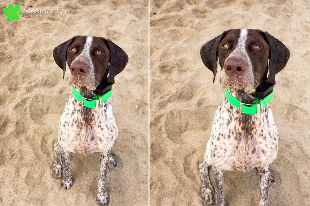 Steamer Lee Dog Photography - German Shorthaired Pointer Meetup - Huntington Beach Dog Beach - 00030.jpg