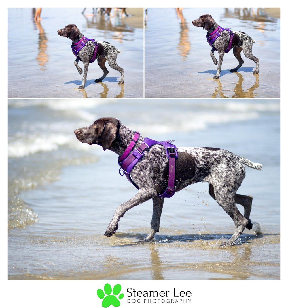 Steamer Lee Dog Photography - German Shorthaired Pointer Meetup - Huntington Beach Dog Beach - 00006.jpg