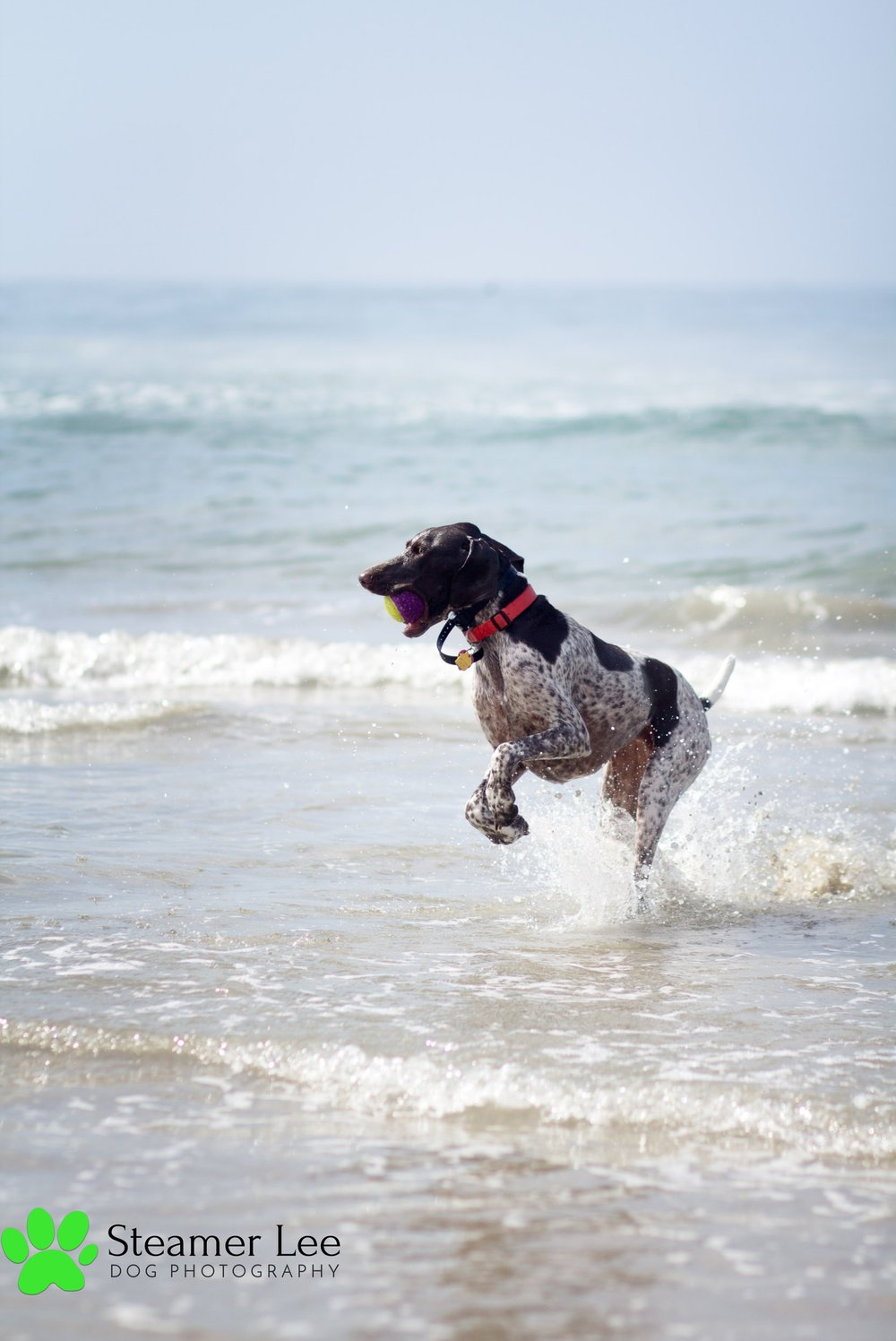 Steamer Lee Dog Photography - German Shorthaired Pointer Meetup - Huntington Beach Dog Beach - 00036.jpg