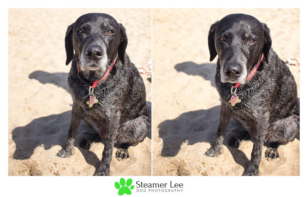 Steamer Lee Dog Photography - German Shorthaired Pointer Meetup - Huntington Beach Dog Beach - 00059.jpg