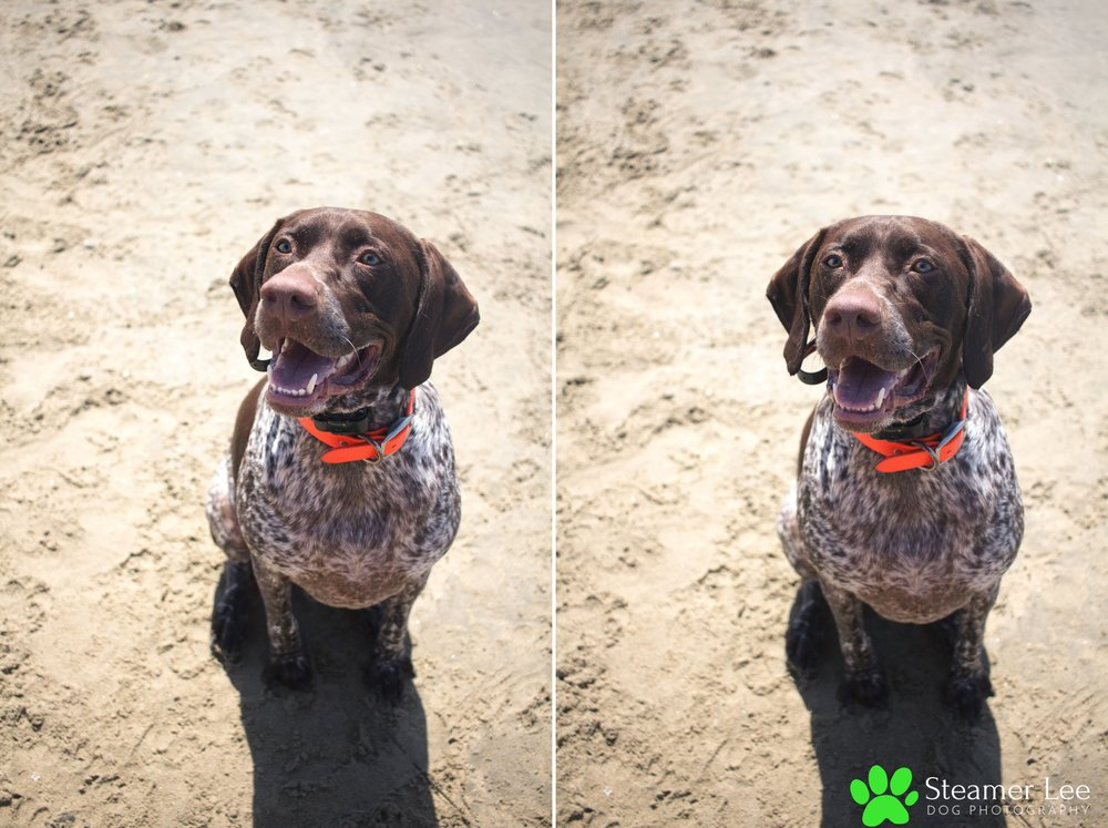 Steamer Lee Dog Photography - German Shorthaired Pointer Meetup - Huntington Beach Dog Beach - 00010.jpg