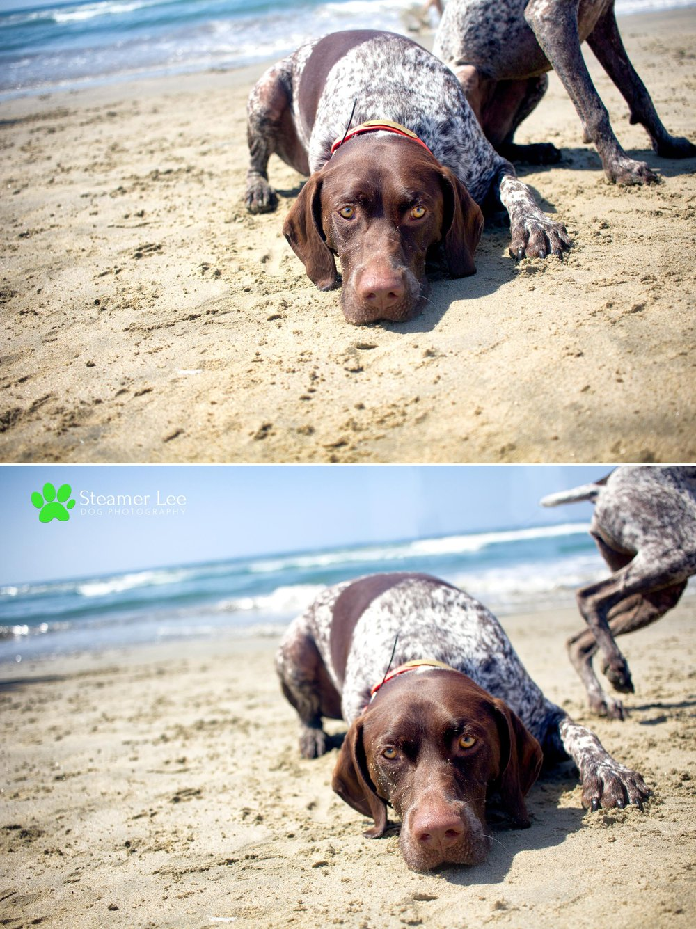 Steamer Lee Dog Photography - German Shorthaired Pointer Meetup - Huntington Beach Dog Beach - 00011.jpg