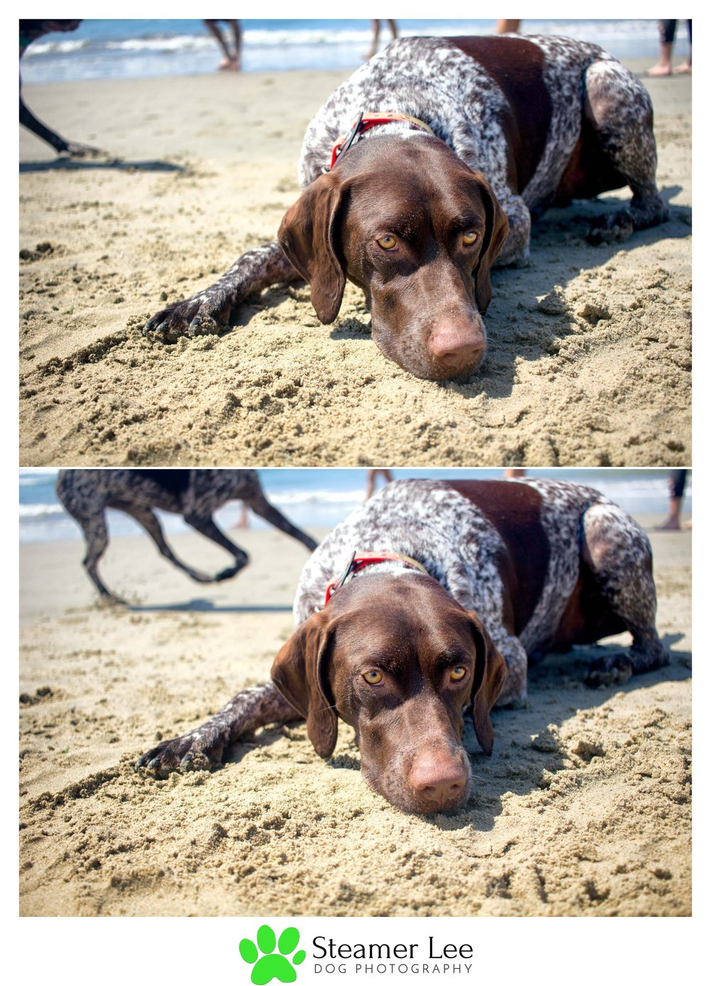 Steamer Lee Dog Photography - German Shorthaired Pointer Meetup - Huntington Beach Dog Beach - 00012.jpg