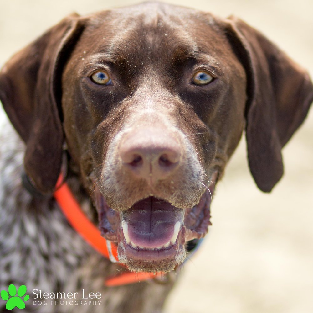 Steamer Lee Dog Photography - German Shorthaired Pointer Meetup - Huntington Beach Dog Beach - 00015.jpg