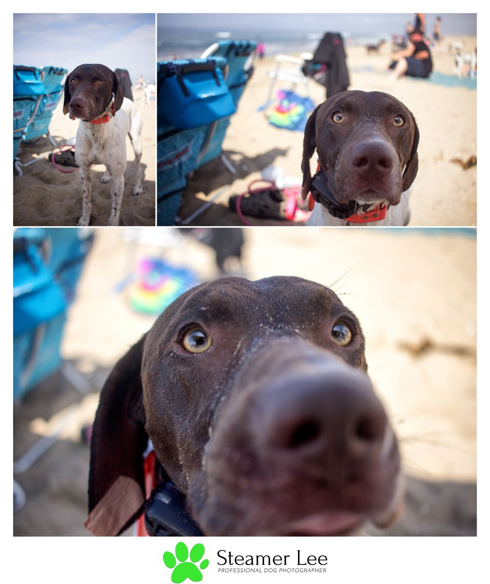 Steamer Lee Dog Photography - German Shorthaired Pointer Meetup - Huntington Beach Dog Beach - 00043.jpg