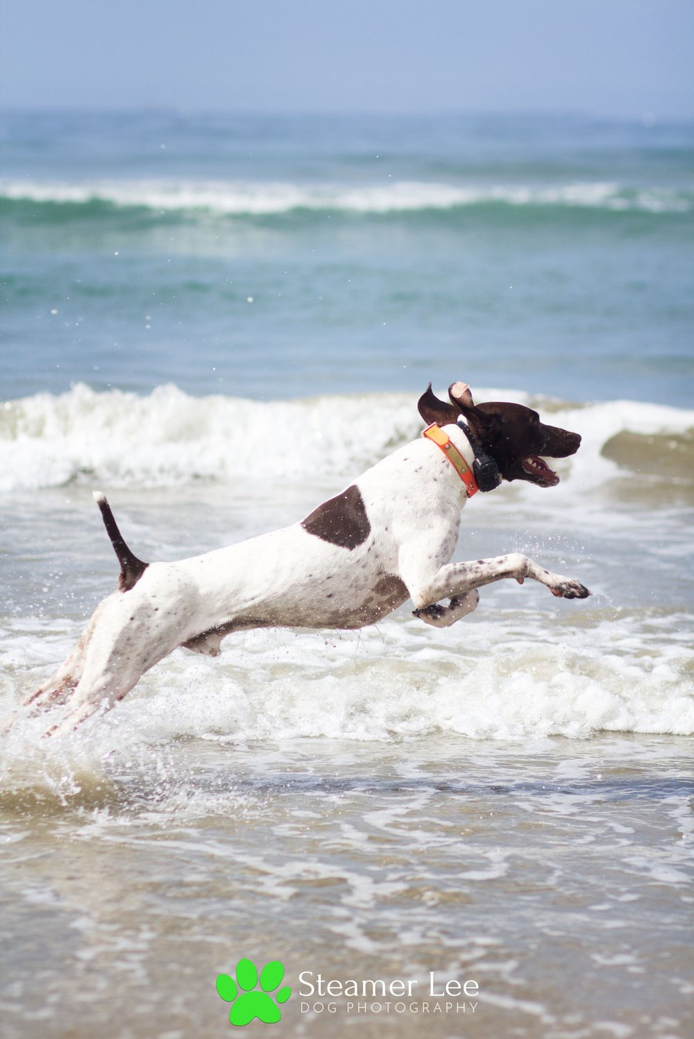 Steamer Lee Dog Photography - German Shorthaired Pointer Meetup - Huntington Beach Dog Beach - 00039.jpg