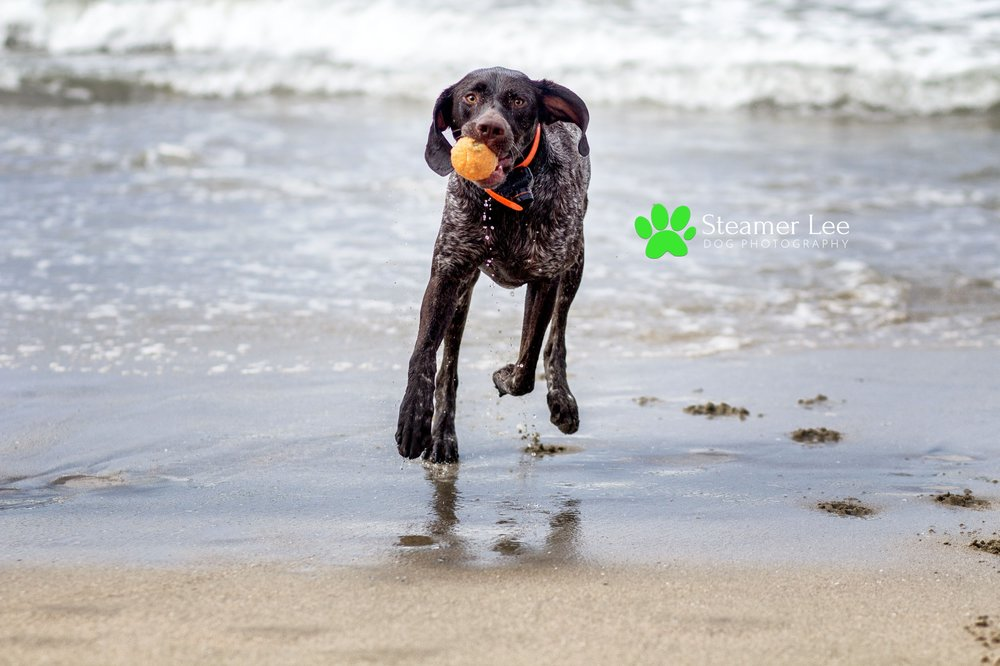 Steamer Lee Dog Photography - German Shorthaired Pointer Meetup - Huntington Beach Dog Beach - 00028.jpg
