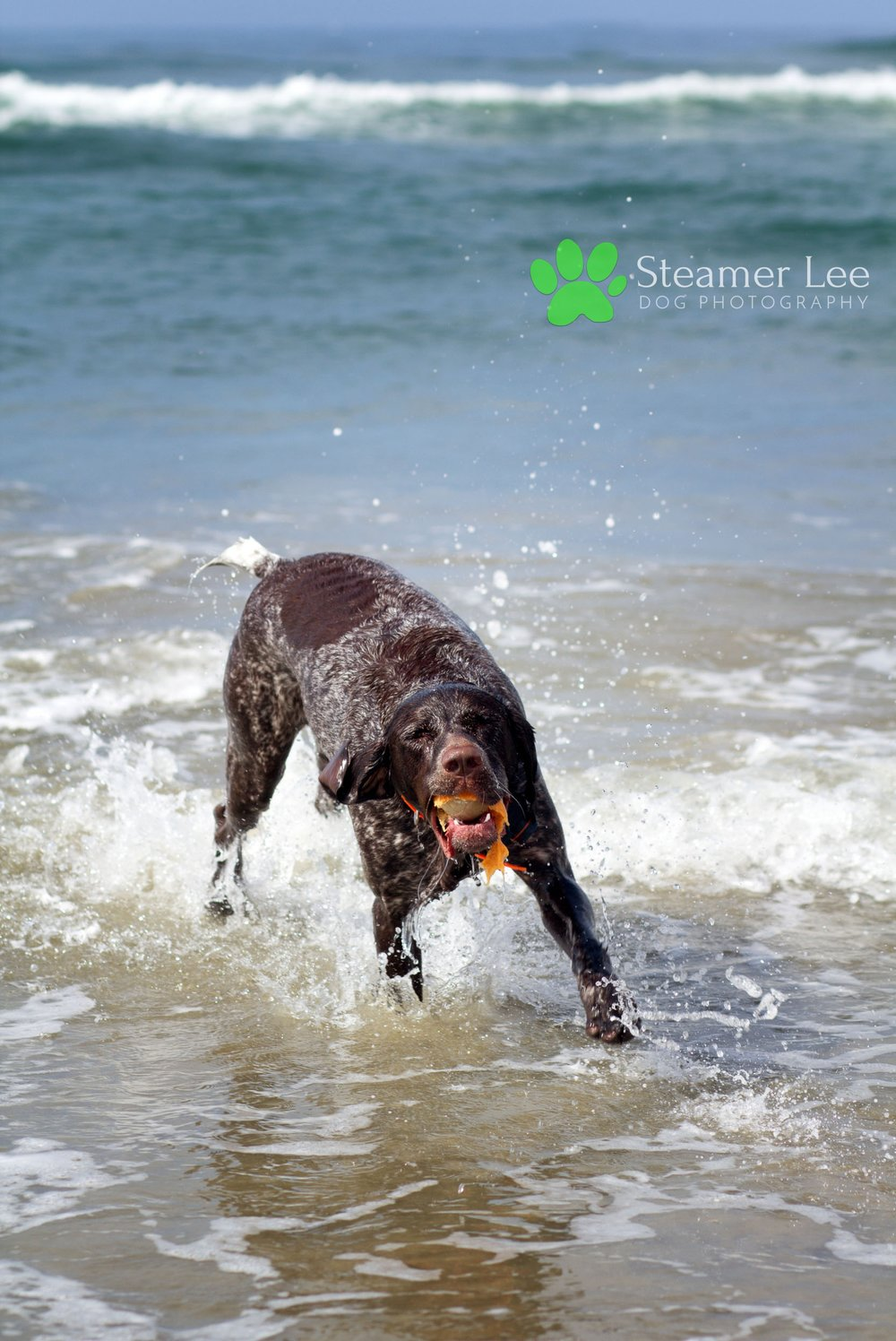 Steamer Lee Dog Photography - German Shorthaired Pointer Meetup - Huntington Beach Dog Beach - 00035.jpg