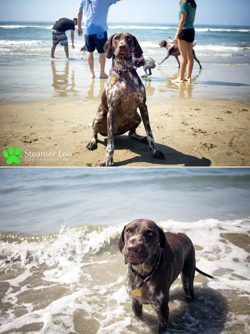 Steamer Lee Dog Photography - German Shorthaired Pointer Meetup - Huntington Beach Dog Beach - 00002.jpg