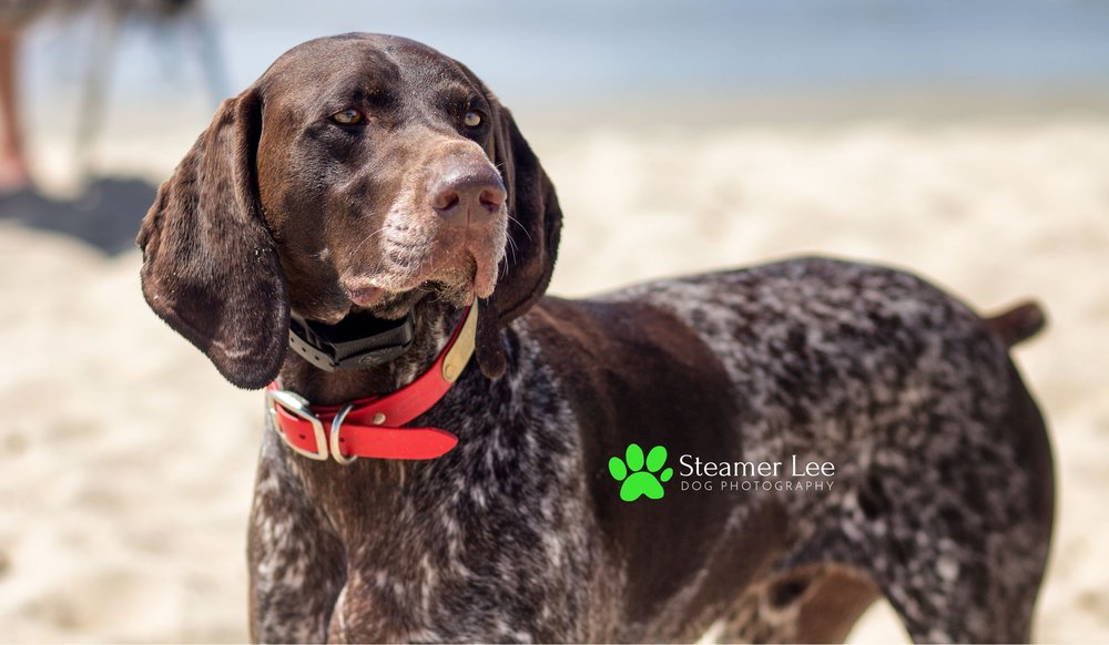 Steamer Lee Dog Photography - German Shorthaired Pointer Meetup - Huntington Beach Dog Beach - 00019.jpg