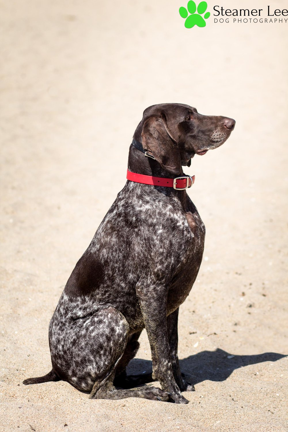 Steamer Lee Dog Photography - German Shorthaired Pointer Meetup - Huntington Beach Dog Beach - 00018.jpg