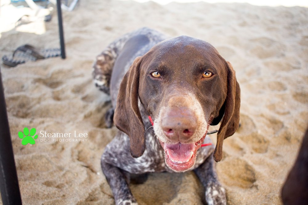 Steamer Lee Dog Photography - German Shorthaired Pointer Meetup - Huntington Beach Dog Beach - 00062.jpg
