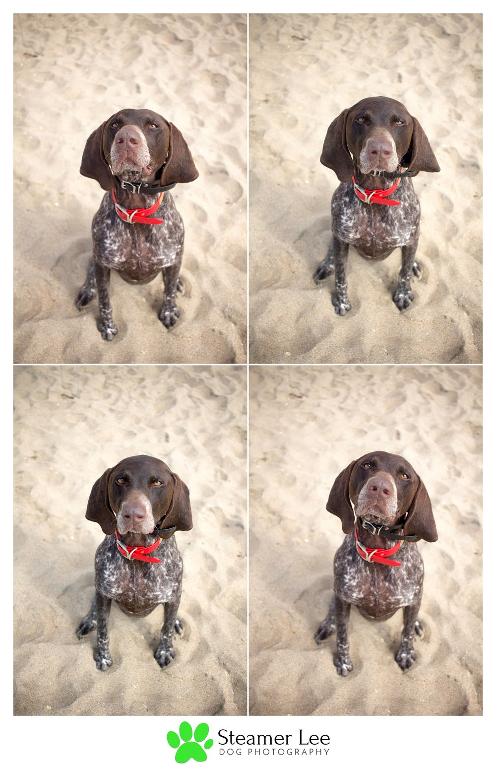 Steamer Lee Dog Photography - German Shorthaired Pointer Meetup - Huntington Beach Dog Beach - 00031.jpg