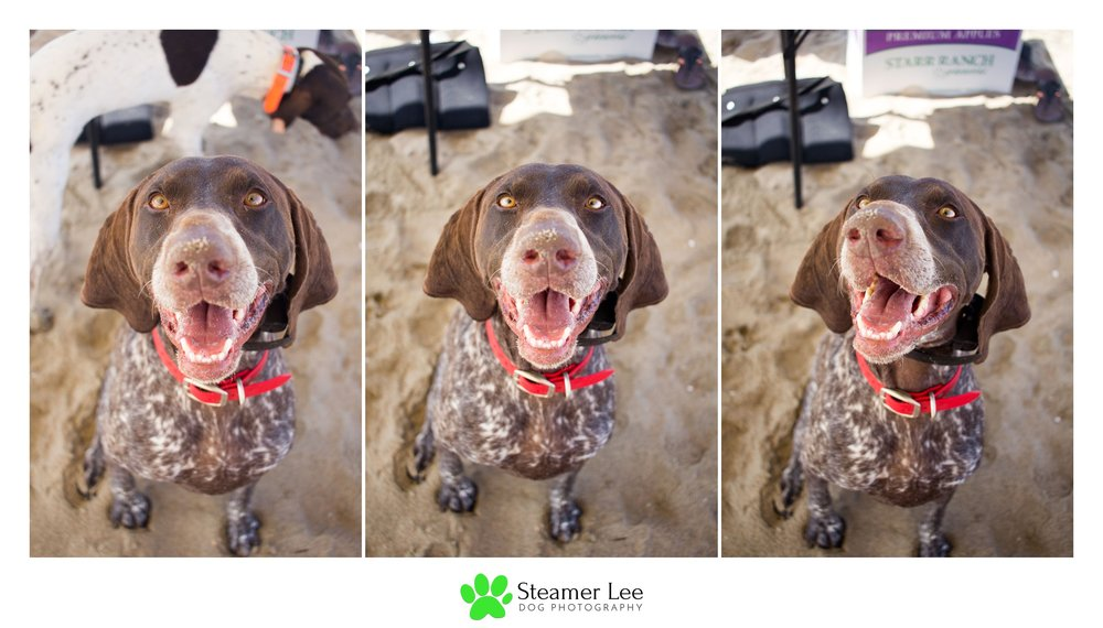 Steamer Lee Dog Photography - German Shorthaired Pointer Meetup - Huntington Beach Dog Beach - 00064.jpg