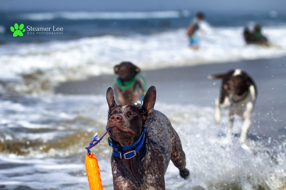 Steamer Lee Dog Photography - German Shorthaired Pointer Meetup - Huntington Beach Dog Beach - 00047.jpg