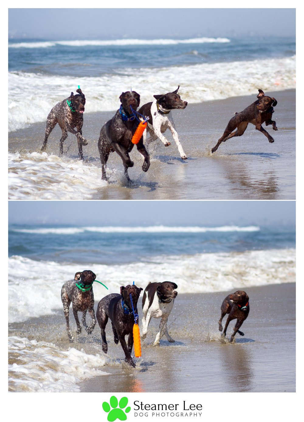 Steamer Lee Dog Photography - German Shorthaired Pointer Meetup - Huntington Beach Dog Beach - 00046.jpg
