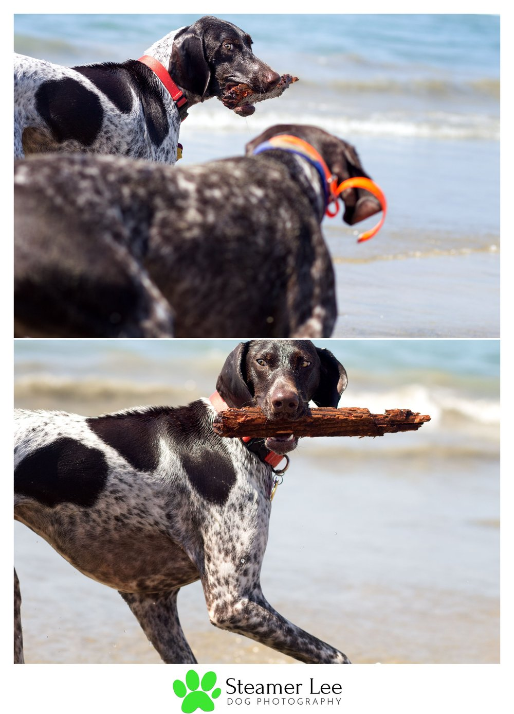 Steamer Lee Dog Photography - German Shorthaired Pointer Meetup - Huntington Beach Dog Beach - 00005.jpg