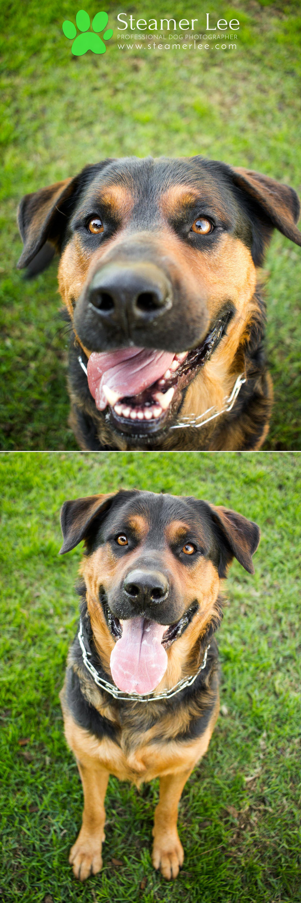 002 Steamer Lee Dog Photography - Orange County Dog Photography - German Shepherd Rottweiler Mix_Poodle.JPG