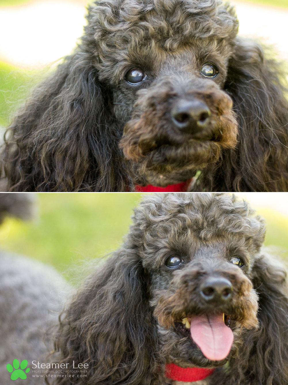 005 Steamer Lee Dog Photography - Orange County Dog Photography - German Shepherd Rottweiler Mix_Poodle.JPG