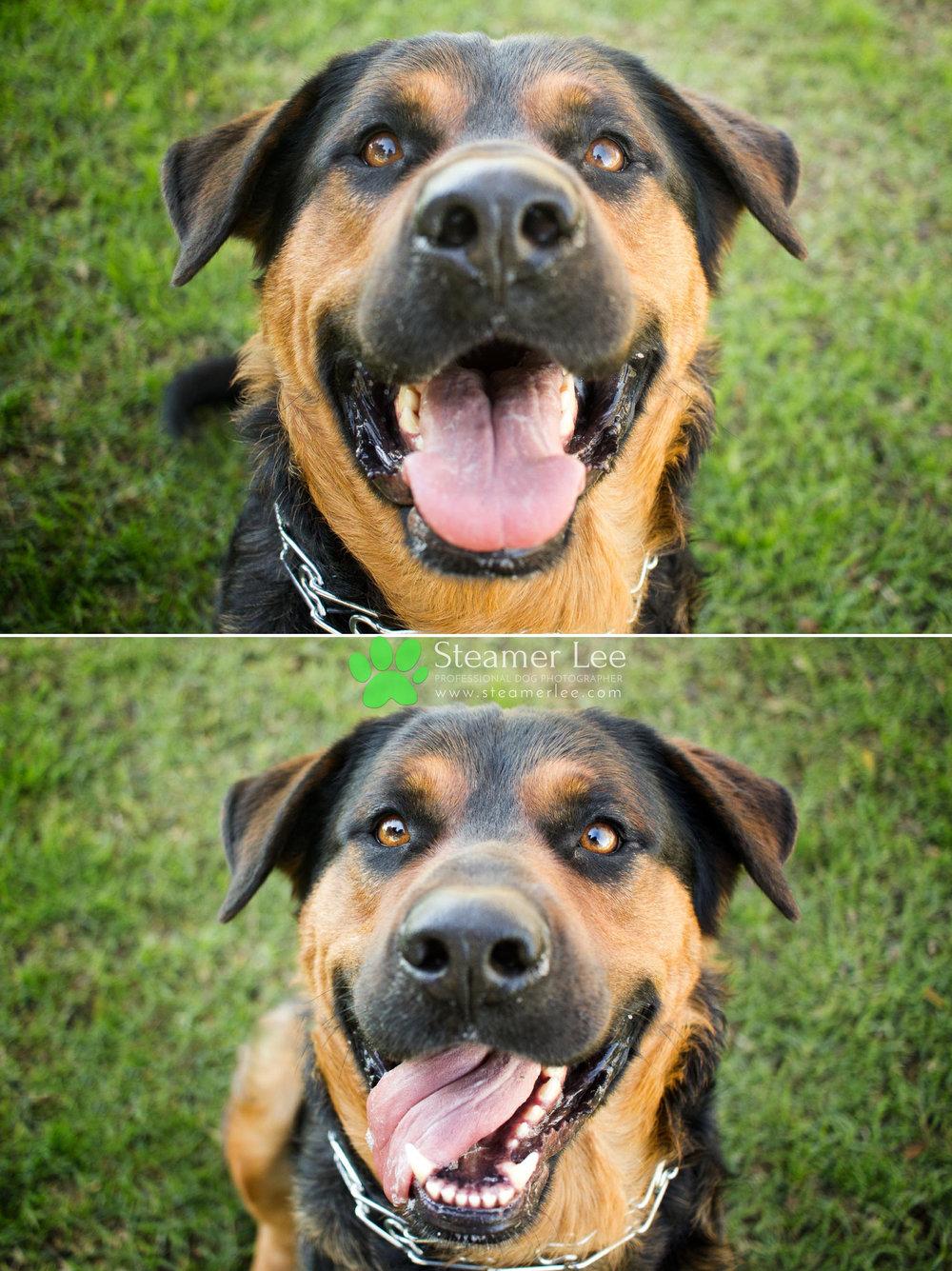 001 Steamer Lee Dog Photography - Orange County Dog Photography - German Shepherd Rottweiler Mix_Poodle.JPG