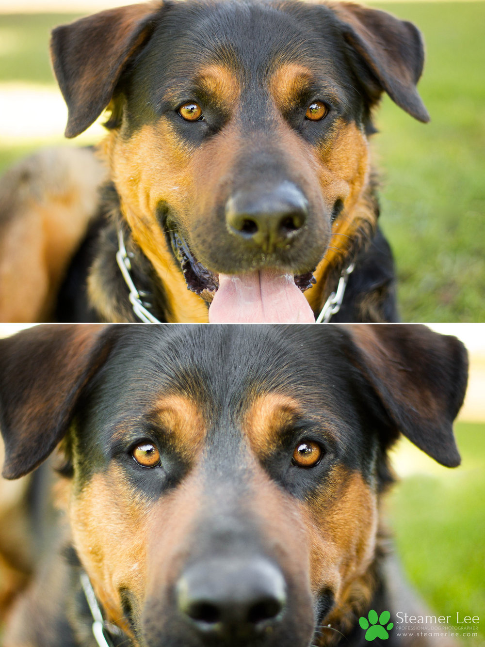 006 Steamer Lee Dog Photography - Orange County Dog Photography - German Shepherd Rottweiler Mix_Poodle.JPG