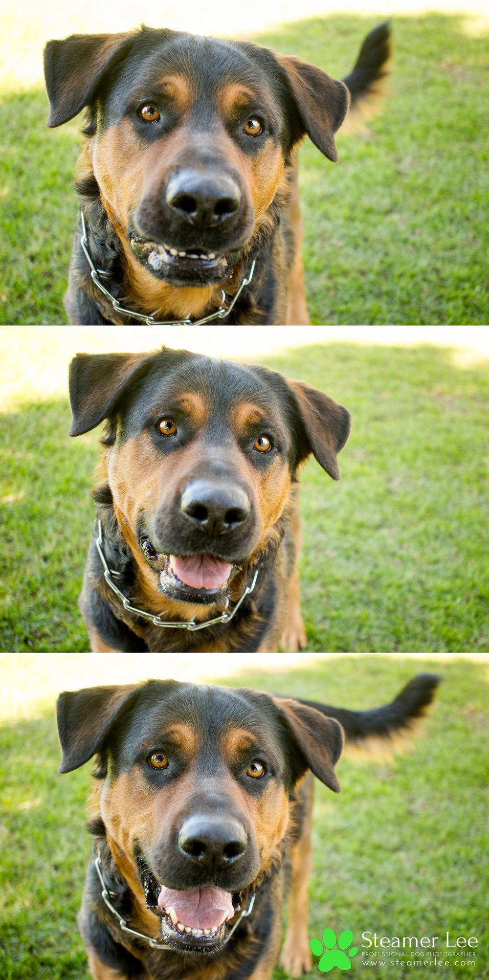 009 Steamer Lee Dog Photography - Orange County Dog Photography - German Shepherd Rottweiler Mix_Poodle.JPG