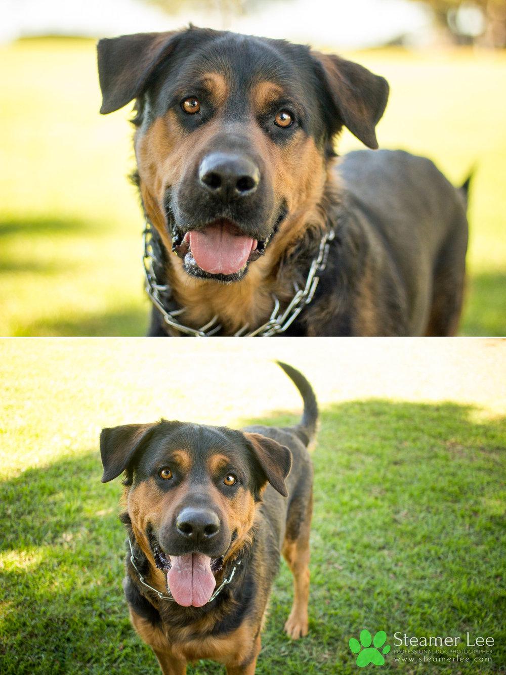 008 Steamer Lee Dog Photography - Orange County Dog Photography - German Shepherd Rottweiler Mix_Poodle.JPG