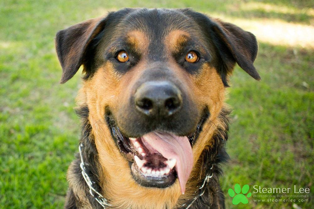012 Steamer Lee Dog Photography - Orange County Dog Photography - German Shepherd Rottweiler Mix_Poodle.JPG