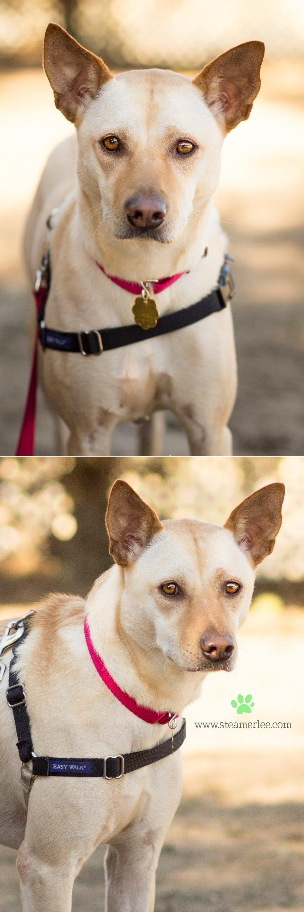 02 Steamer Lee Dog Photography - Seal Beach Animal Care Center.JPG