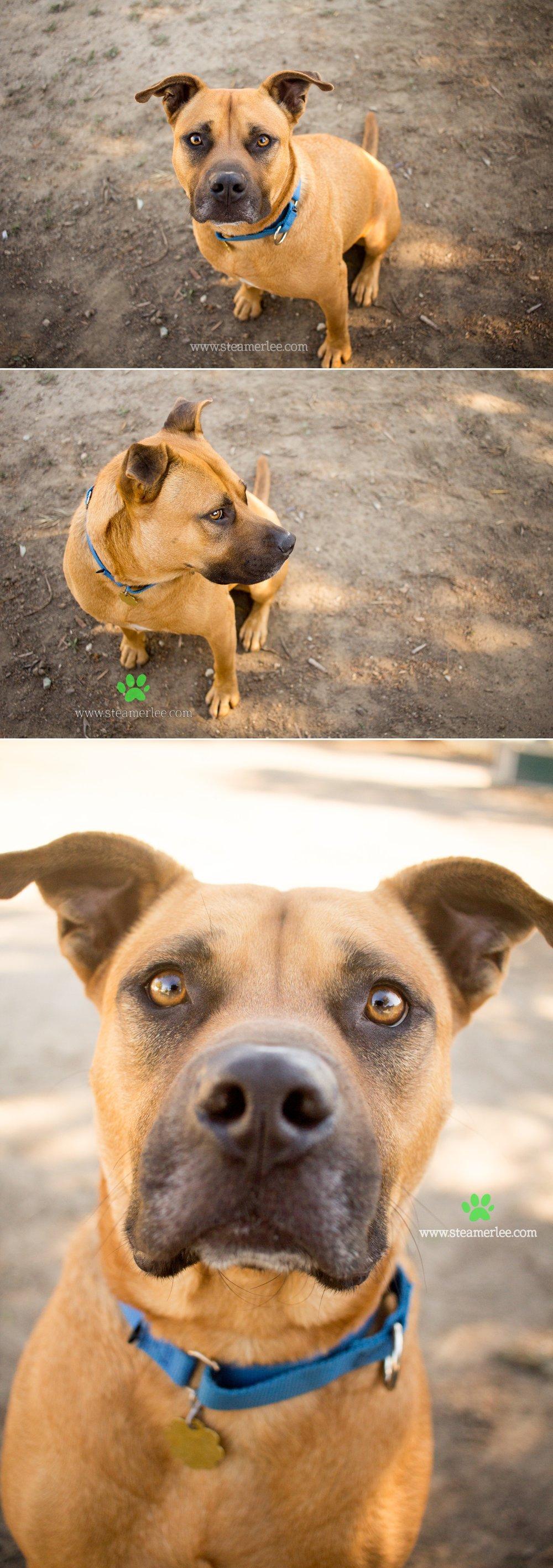 05 Steamer Lee Dog Photography - Seal Beach Animal Care Center.JPG