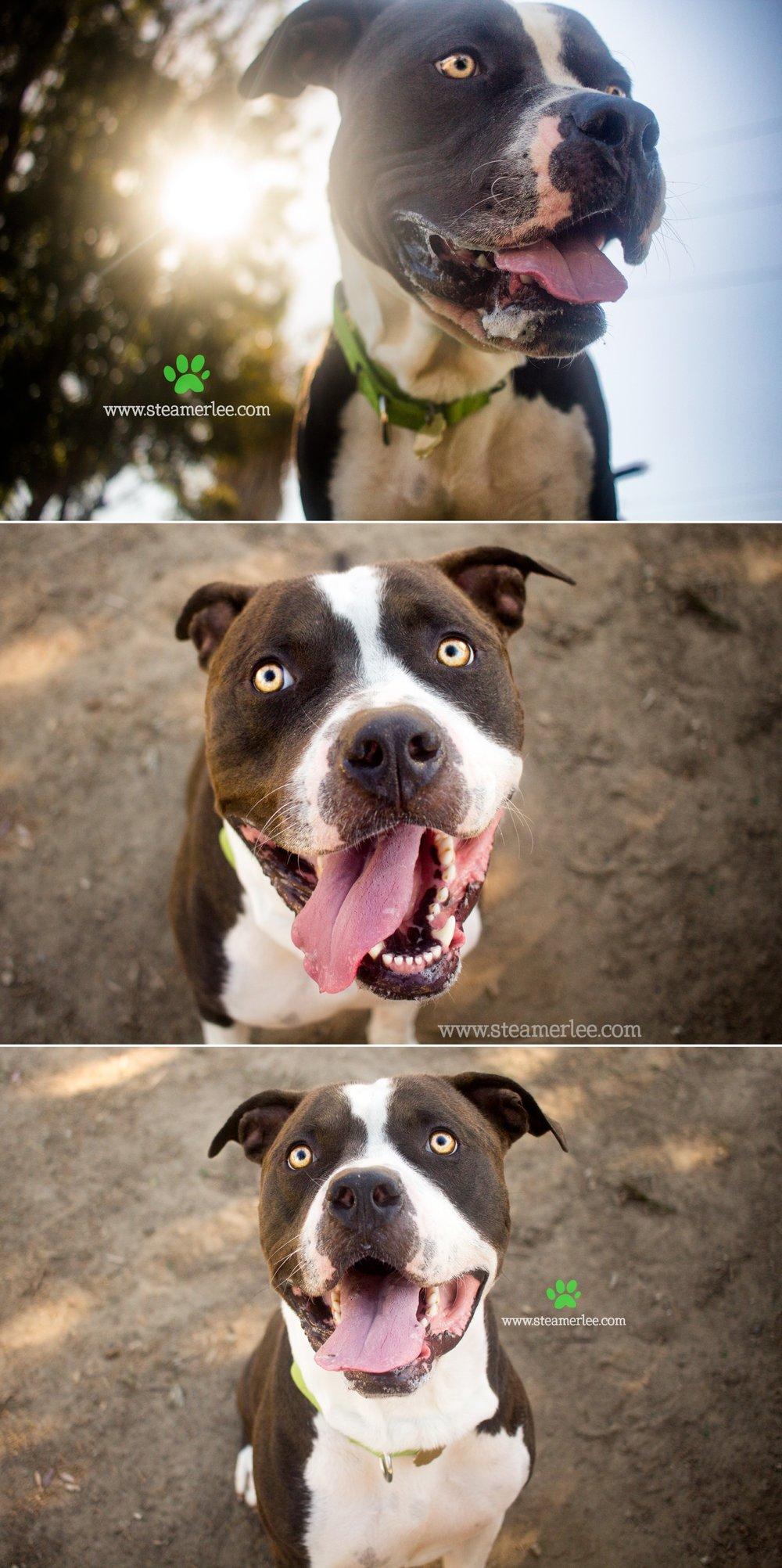 07 Steamer Lee Dog Photography - Seal Beach Animal Care Center.JPG