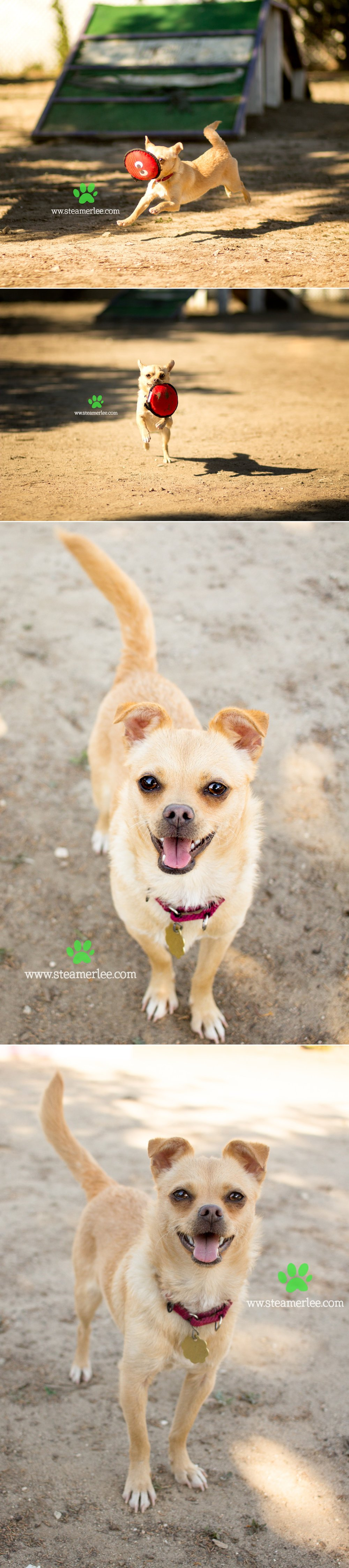 10 Steamer Lee Dog Photography - Seal Beach Animal Care Center.JPG