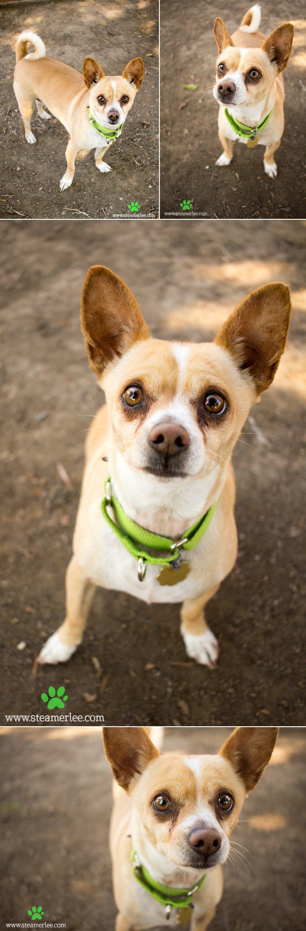 12 Steamer Lee Dog Photography - Seal Beach Animal Care Center.JPG