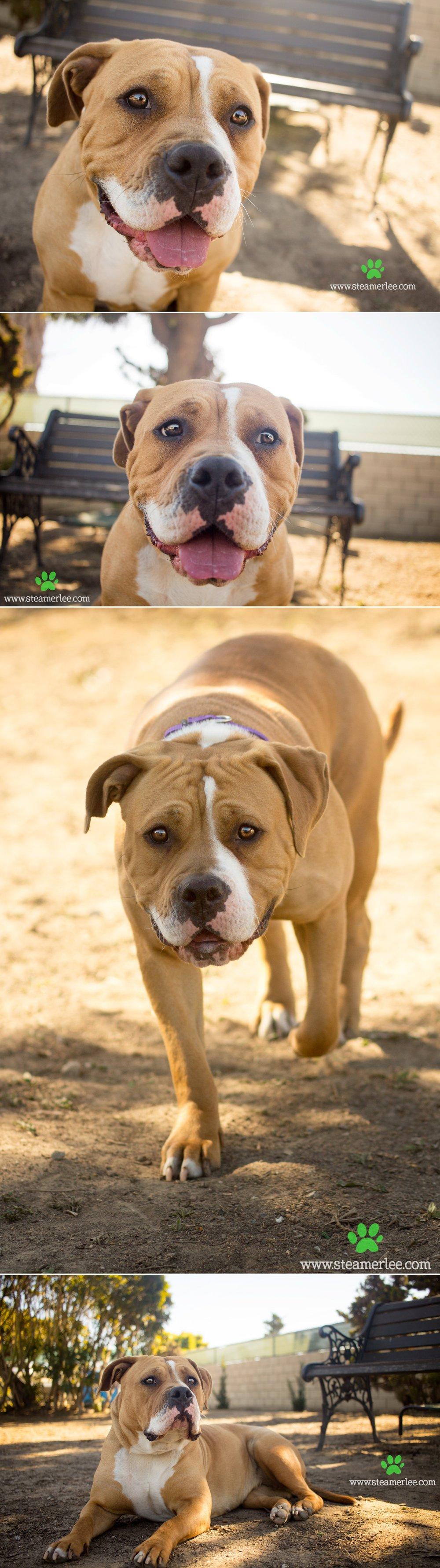 18 Steamer Lee Dog Photography - Seal Beach Animal Care Center.JPG
