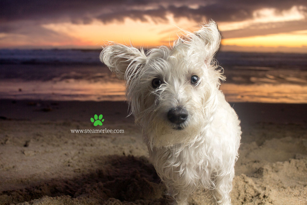 Steamer Lee Dog Photography - Westie Schnauzer Mix Maya 02.JPG
