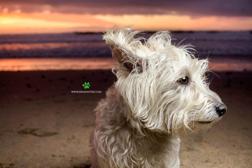 Steamer Lee Dog Photography - Westie Schnauzer Mix Maya 04.JPG