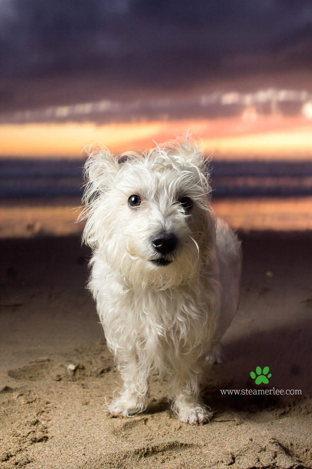 Steamer Lee Dog Photography - Westie Schnauzer Mix Maya 07.JPG