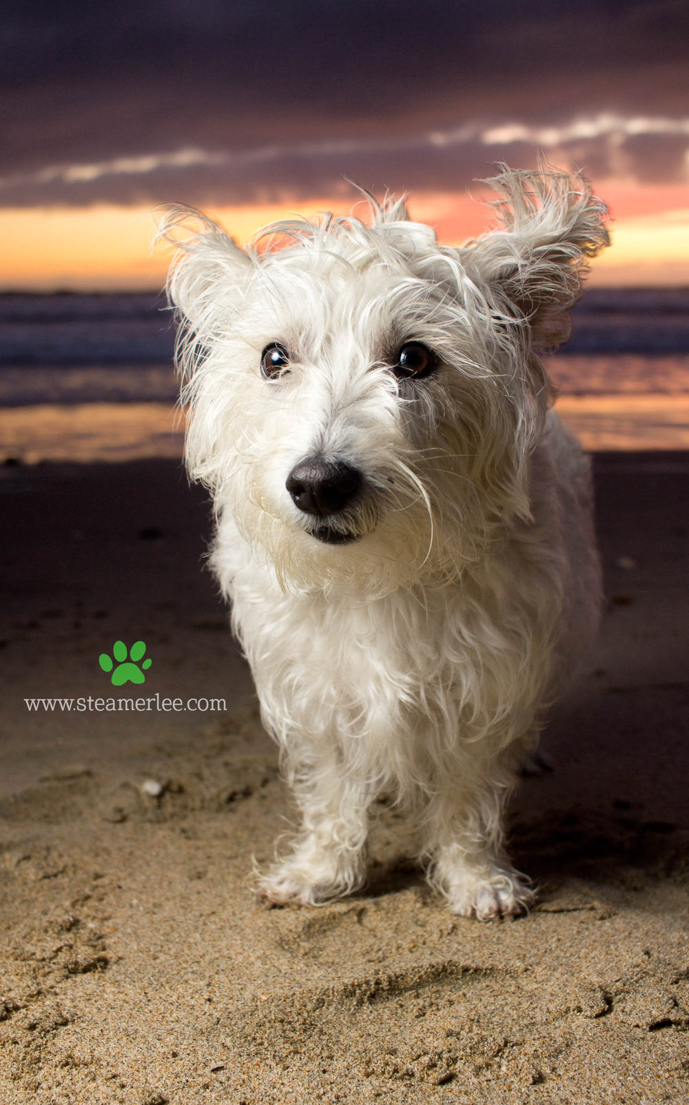 Steamer Lee Dog Photography - Westie Schnauzer Mix Maya 06.JPG