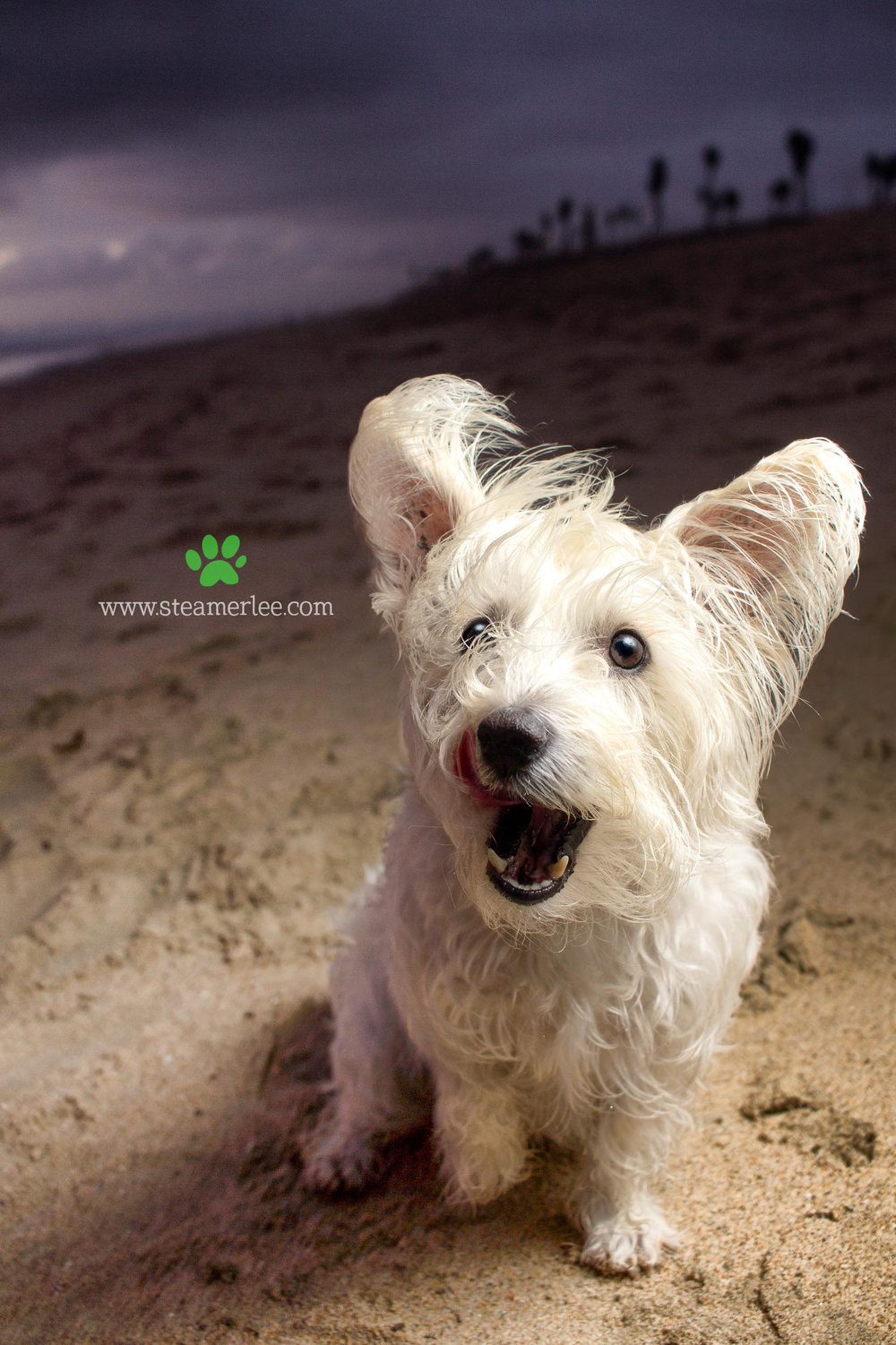 Steamer Lee Dog Photography - Westie Schnauzer Mix Maya 09.JPG