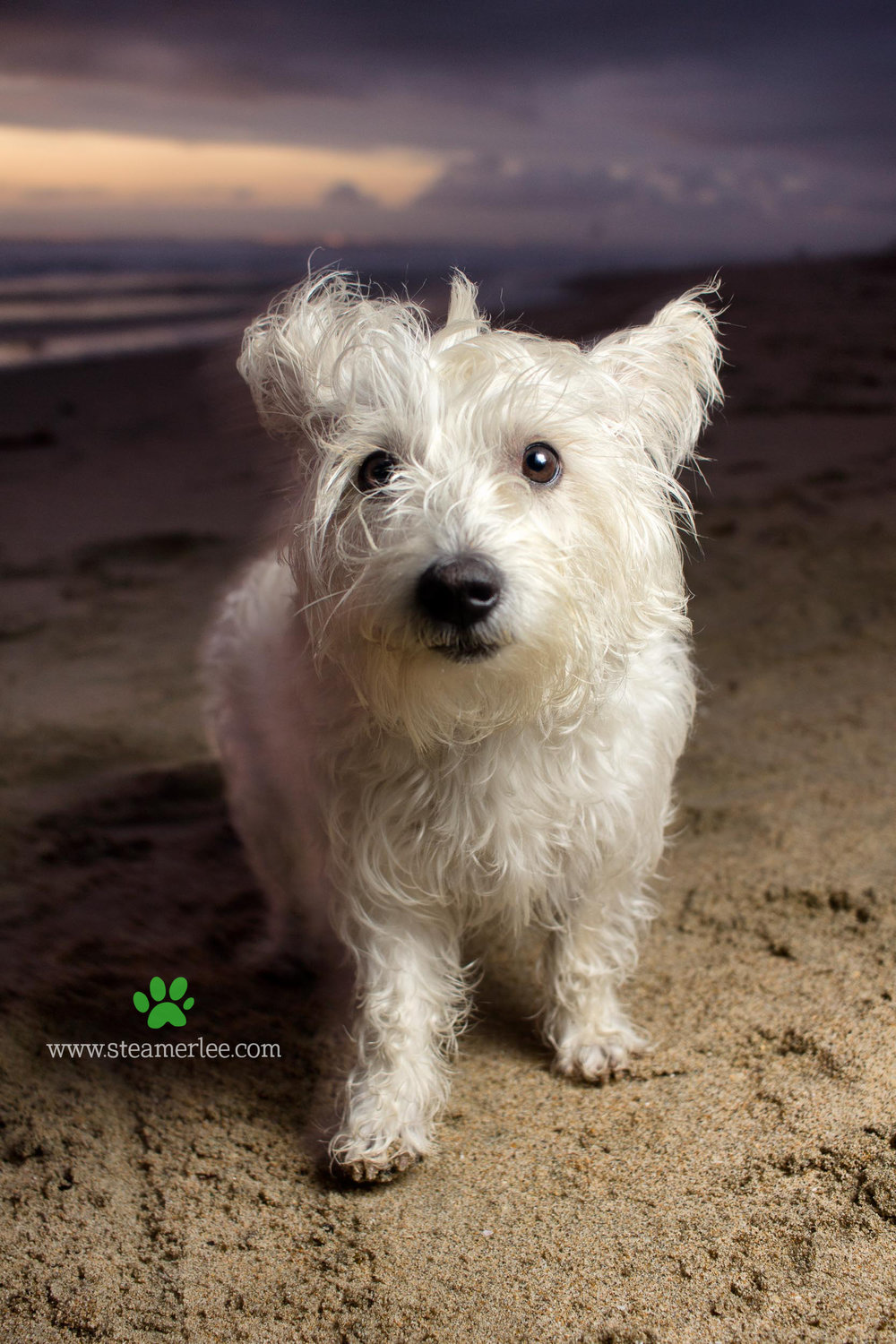 Steamer Lee Dog Photography - Westie Schnauzer Mix Maya 10.JPG
