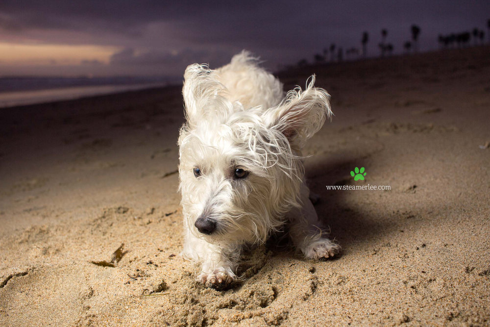 Steamer Lee Dog Photography - Westie Schnauzer Mix Maya 19.JPG