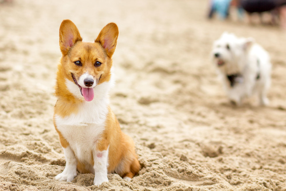 Orange-County-Dog-Photography-Pet-Huntington-Dog-Beach-SoCal-Corgi-Beach-Day_Steamer-Lee_014.JPG